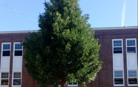 The tree on the south side of the school producing pollen photo credit to Brendyn Howard