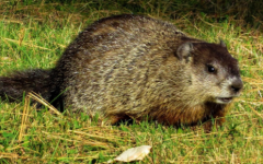 The Truth about Groundhog Day: An American Faith Built around Rodents