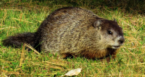 A groundhog sits on green grass. This animal has importance to those who love Groundhog Day.